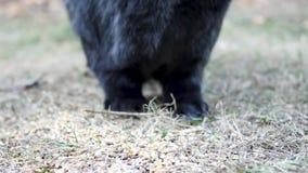 Μαύρο φλαμανδικό γιγαντιαίο κουνέλι φιλμ μικρού μήκους