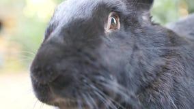 Μαύρο φλαμανδικό γιγαντιαίο κουνέλι απόθεμα βίντεο