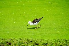 Μαύρο φτερωτό ξυλοπόδαρο στο ζωολογικό κήπο στοκ εικόνες