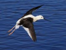 Μαύρο φτερωτό ξυλοπόδαρο 02 Στοκ Φωτογραφίες