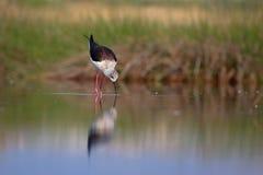 Μαύρο φτερωτό ξυλοπόδαρο (himantopus himantopus) στοκ φωτογραφίες με δικαίωμα ελεύθερης χρήσης