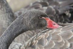 Μαύρο φτερό αφής κύκνων με το κόκκινο ράμφος στοκ φωτογραφία με δικαίωμα ελεύθερης χρήσης