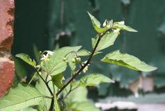 μαύρο φυτό nightshade Στοκ εικόνες με δικαίωμα ελεύθερης χρήσης