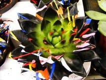 Μαύρο φύλλο succulent που χρωματίζει στο Μαύρο με τις ζωηρόχρωμες ακτίνες Στοκ φωτογραφίες με δικαίωμα ελεύθερης χρήσης