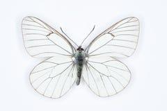 Μαύρο φλεβώές άσπρο crataegi Aporia, που απομονώνεται στο λευκό Στοκ Φωτογραφίες