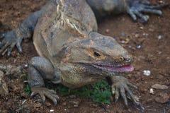Μαύρο χαμόγελο Iguana στοκ εικόνες