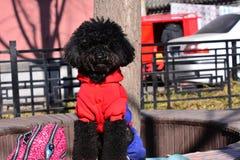 μαύρο χαριτωμένο σκυλί λίγ Στοκ Φωτογραφία