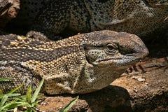 Μαύρο όργανο ελέγχου Throated, Varanus α albigularis, Ζιμπάμπουε Στοκ Εικόνα