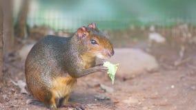 Μαύρο Agouti που τρώει ένα φύλλο Κοινά ονόματα: Νέγρος Guatusa ο agutà Στοκ Φωτογραφία