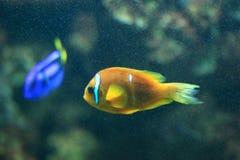 Μαύρο anemonefish Στοκ Φωτογραφία