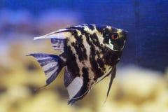 Μαύρο angelfish σε ένα ενυδρείο Στοκ Φωτογραφίες