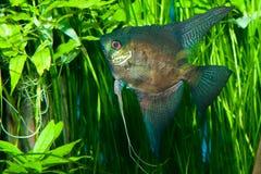 Μαύρο Angelfish Στοκ Εικόνα