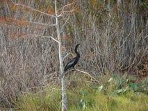 μαύρο anhinga (πουλί φιδιών) σε ένα έλος Στοκ φωτογραφία με δικαίωμα ελεύθερης χρήσης