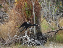 μαύρο anhinga (πουλί φιδιών) σε ένα έλος Στοκ εικόνα με δικαίωμα ελεύθερης χρήσης