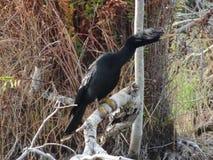 μαύρο anhinga (πουλί φιδιών) σε ένα έλος Στοκ Εικόνες