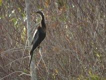 μαύρο anhinga (πουλί φιδιών) σε ένα έλος Στοκ Φωτογραφία