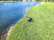 Μαύρο anhinga στην ακτή ενός bayou στο έλος Στοκ εικόνα με δικαίωμα ελεύθερης χρήσης