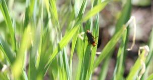 Μαύρο beatle ή ζωύφιο στην πράσινη χλόη το καλοκαίρι φιλμ μικρού μήκους