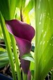 Μαύρο calla στον κήπο Στοκ φωτογραφία με δικαίωμα ελεύθερης χρήσης