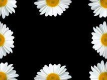 μαύρο chamomile πλαίσιο Στοκ Φωτογραφία