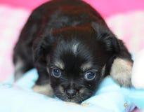 μαύρο chihuahua χαριτωμένο Στοκ Φωτογραφία