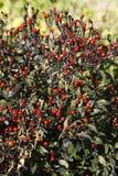 Μαύρο Chiltepin, καψικό annuum Στοκ Εικόνες