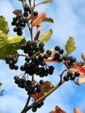 μαύρο chokeberry melanocarpa aronia Στοκ Εικόνες