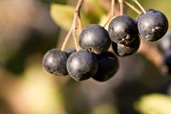 μαύρο chokeberry melanocarpa aronia Στοκ φωτογραφία με δικαίωμα ελεύθερης χρήσης