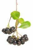 μαύρο chokeberry melanocarpa aronia Στοκ Φωτογραφίες