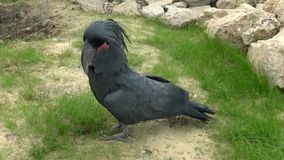 μαύρο cockatoo φιλμ μικρού μήκους
