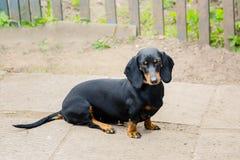 Μαύρο dachshund Ένα ενήλικο σκυλί κάθεται ηλικία 2 έτη Στοκ φωτογραφίες με δικαίωμα ελεύθερης χρήσης