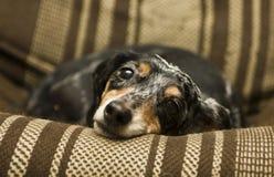 μαύρο dachshund Στοκ εικόνες με δικαίωμα ελεύθερης χρήσης