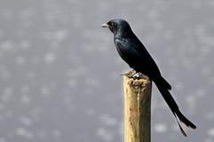 μαύρο drongo Στοκ Φωτογραφία