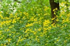 Μαύρο eyed δάσος της Susan Στοκ φωτογραφία με δικαίωμα ελεύθερης χρήσης