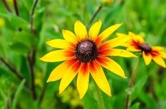 Μαύρο eyed λουλούδι της Susan στο καλοκαίρι Στοκ εικόνες με δικαίωμα ελεύθερης χρήσης