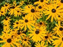 Μαύρο Eyed λουλούδι φύσης της Susan Στοκ εικόνα με δικαίωμα ελεύθερης χρήσης
