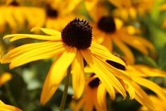 μαύρο eyed λουλούδι Susan στοκ φωτογραφίες