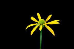 μαύρο eyed λουλούδι Susan Στοκ Εικόνα