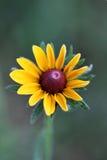 μαύρο eyed λουλούδι Susan Στοκ φωτογραφία με δικαίωμα ελεύθερης χρήσης