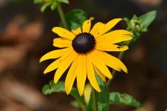 μαύρο eyed λουλούδι Susan Στοκ εικόνες με δικαίωμα ελεύθερης χρήσης