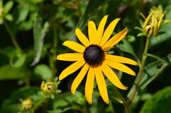 μαύρο eyed λουλούδι Susan Στοκ φωτογραφίες με δικαίωμα ελεύθερης χρήσης