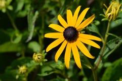 μαύρο eyed λουλούδι Susan Στοκ Φωτογραφία
