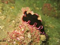 μαύρο flatworm στοκ φωτογραφία με δικαίωμα ελεύθερης χρήσης