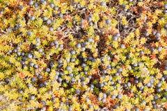 Μαύρο floral υπόβαθρο nigrum Crowberry Empetrum Στοκ Εικόνες