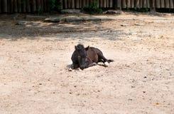 Μαύρο foal άλογο Στοκ φωτογραφία με δικαίωμα ελεύθερης χρήσης