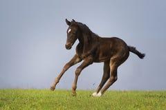 μαύρο foal στοκ εικόνα με δικαίωμα ελεύθερης χρήσης