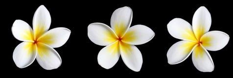 μαύρο frangipani τρία Στοκ Εικόνες