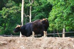 Μαύρο gaur Στοκ Εικόνες