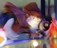 Μαύρο goldfish Στοκ εικόνα με δικαίωμα ελεύθερης χρήσης