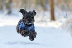 Μαύρο havanese σκυλί στο τρέξιμο χιονιού στοκ φωτογραφία